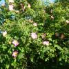 Wildrosenblüte im Labenzer Rosenpark 1