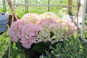 Hortensien - immer eine Pracht!