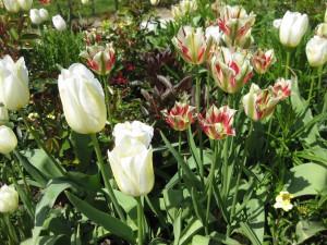 Machen sich super im Frühlingsgesteck: Weiße Tulpen