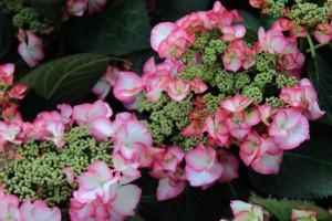 Pflegeleichte Pflanzen gesucht? Auch die Hortensie gehört dazu...