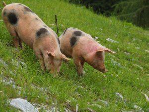 Die Käsealm Moosbrugger legt Wert auf eine artgerechte Tierhaltung