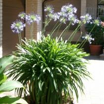 Auch ein Sommerblüher: Die afrikanische Schmucklilie...