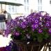 Rosenfest auf dem Heiligenberg  3