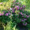 Wildrosenblüte im Labenzer Rosenpark 2