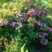 Wildrosenblüte im Labenzer Rosenpark 3