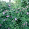 Wildrosenblüte im Labenzer Rosenpark 4