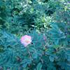 Wildrosenblüte im Labenzer Rosenpark 5