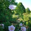 Wildrosenblüte im Labenzer Rosenpark 6