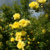 Wildrosenblüte im Labenzer Rosenpark 8