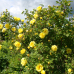 Wildrosenblüte im Labenzer Rosenpark 7
