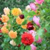 Tölzer Rosen- und Gartentage 6