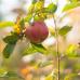 Apfeltage Garten von Ehren 6