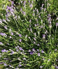 Lavendellust im Kräutergarten