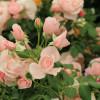 Rosen-, Kunst- und Gartentage