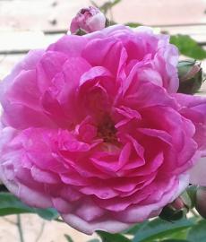Abgesagt - 21. Tölzer Rosen- und Gartentage