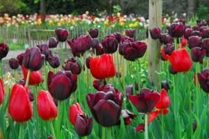 TulpenprachtIppenburg4