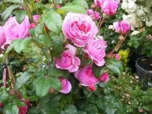 Rosenkonfitüre, ein süßer Genuss