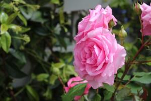 Besonders schöne essbare Blüten sind die der Rose