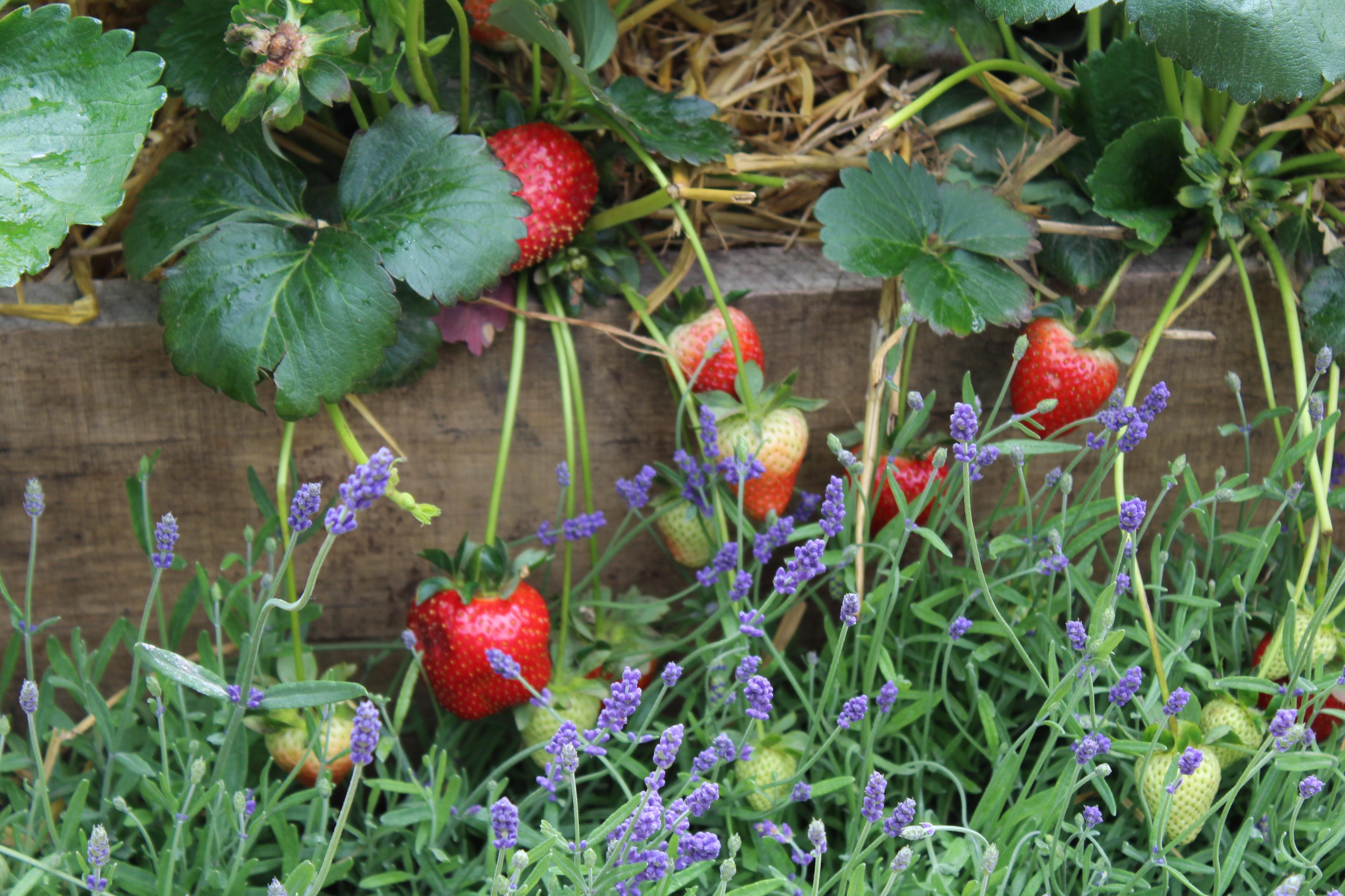 erdbeeren pflanzen so funktioniert s. Black Bedroom Furniture Sets. Home Design Ideas