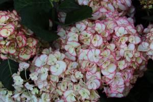 In allen Gärten gern gesehen: Die Hortensie