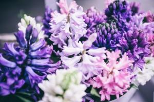 Frühlingsblüher: Hyazinthen
