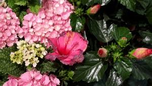 Hortensien gehören ebenfalls zu den Herbstblumen