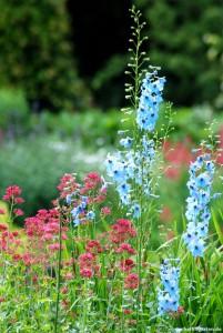 Schön und pflegeleicht: Die Spornblume