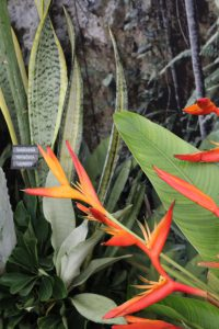 Strelitzien werden auch als Paradiesvogelblumen bezeichnet...